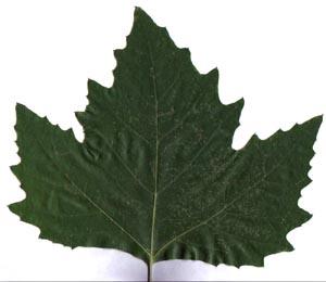 Modellismo pi - Foglia canadese contorno foglia canadese ...
